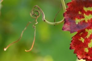 grape-leaf[1]
